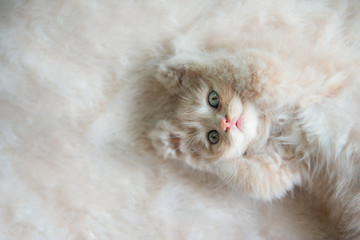 Cute little blue eyes cat Lying up on the fur floor