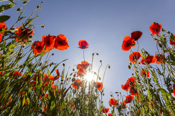 Low angle view of wonderful bright fully blooming red poppies and buds on high green stems lit by summer sun against bright blue sky. Beauty and tenderness of nature concept.