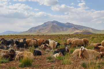 Livestock in Zagros mountains Iran