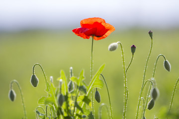 Close-up of tender blooming lit by summer sun one red wild poppy and undiluted flower buds on high stems on blurred bright green summer background. Beauty and tenderness of nature concept.