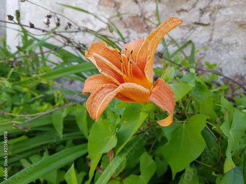 Fleur De Lys Orange Dans La Nature Stock Photo And Royalty Free