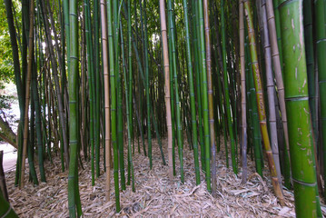 continuous thickets of young green bamboo with a carpet of fallen leaves on the ground