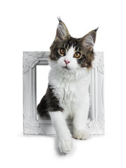 Sweet handsome black tabby with white Maine Cook cat kitten sitting in white picture frame, looking straight up lens isolated on white background