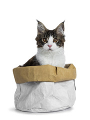 Sweet handsome black tabby with white Maine Cook cat kitten sitting in white with brown paper bag, looking straight at lens isolated on white background