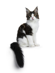 Sweet handsome black tabby with white Maine Cook cat kitten sitting side ways with tail hanging over edge, looking straight at lens isolated on white background