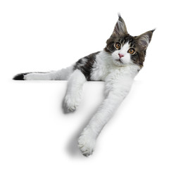 Sweet handsome black tabby with white Maine Cook cat kitten laying down hanging with his front paws over the edge, looking straight at lens isolated on white background
