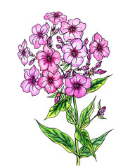 Blooming pink phlox, watercolor painting with the contour, isolated on white background with clipping path.