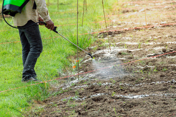 Workers are injecting insecticide on the soil surface of the plots.