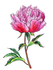 Pink peony, watercolor drawing with a contour, isolated on a white background with clipping path.