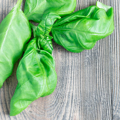 Fresh basil leaves on a gray wooden background, copy space, top view, square format