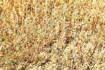 Grain field suffering from drought in the sunshine