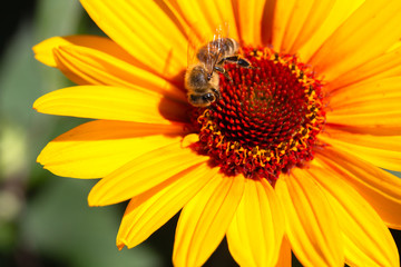 Biene bestäubt Sonnenhut (Echinacea)