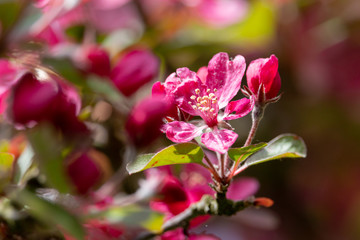 Blossoming apple tree. Saturated pink flowers and green leaves with blurred background. Sweet fragrance of spring.