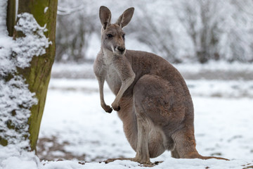 Fotobehang Kangoeroe Red kangaroo on snow. Macropus rufus is the largest of all kangaroos, the largest terrestrial mammal native to Australia, and the largest extant marsupial.