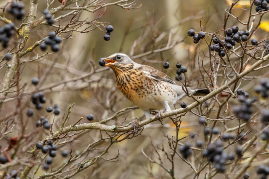 Fieldfare (Turdus pilaris) with black berry in his mouth. The thrush with slate-grey head and boldly speckled breast sitting on bush of amelanchier also known as shadbush, shadwood or shadblow.