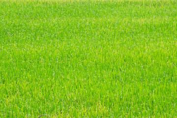 Papiers peints Herbe rice field. rice plants in paddy field