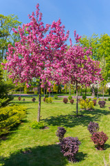 beautiful pink blossoming trees on a green lawn