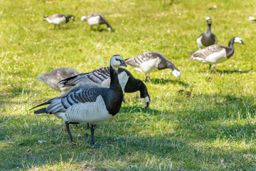A group of Barnacle geese feed on grass in a park