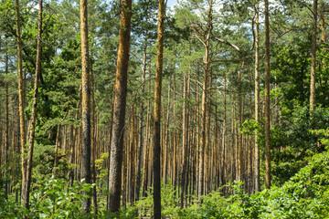 Coniferous forest landscape.