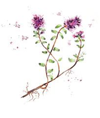 Collection herb. Water color hand drawn illustration. Botanical illustration