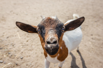 Close up portrait of a funny goat