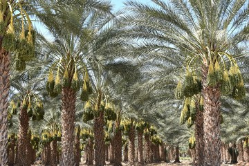Date palm trees planted in rows on the date farm