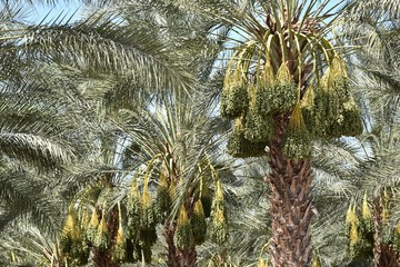 Date palm trees in a date farm