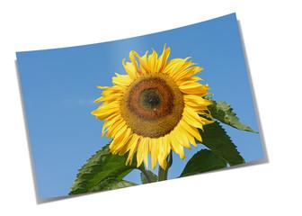 Sonnenblume, Helianthus annuus, Papierabzug
