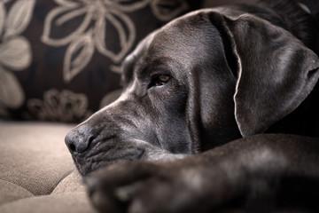 Sleepy Italian mastiff