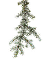Green branch of spruce with needles on  isolated background