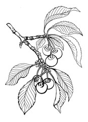 Branch of fruit black cherry with berries and leaves. Black and white outline illustration hand drawn work isolated on white background.