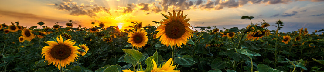 Aluminium Prints Village Summer landscape: beauty sunset over sunflowers field. Panoramic views