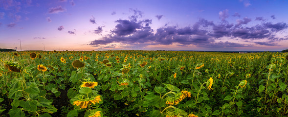 Wall Mural - Summer landscape: beauty sunset over sunflowers field. Panoramic views