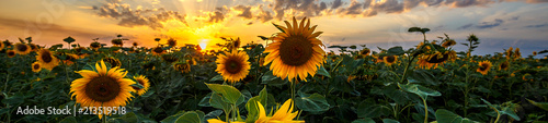 Wall mural Summer landscape: beauty sunset over sunflowers field. Panoramic views