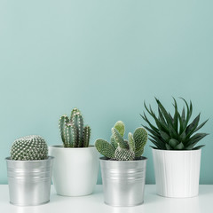 Modern room decoration. Collection of various potted cactus and succulent plants on white shelf against pastel turquoise colored wall. House plants background.