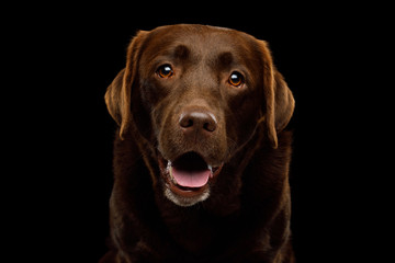 Funny Portrait of Amazement Labrador retriever dog Smiling looking in camera on isolated black background, front view