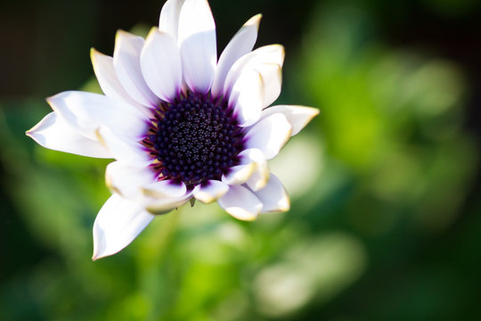 White flower with dark blue purple center and untidy petals dominating the left upper part of the frame, which is otherwwise filled with a green bokeh