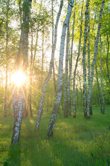 Birch grove, sun through the trees, morning sunrise, vertical composition