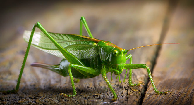 macro close up big green locust grasshopper on wooden table