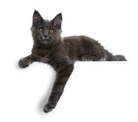 Wall Mural - Adorable solid blue Maine Coon cat kitten laying side ways with one paw hanging over edge and looking straight at camera, isolated on white background