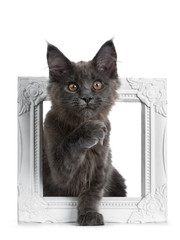 Adorable solid blue Maine Coon cat kitten sitting in white photo fram with one paw in air like thinking, looking straight at camera, isolated on white background