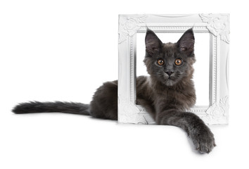 Adorable solid blue Maine Coon cat kitten laying in white photo frame with one paw over edge of frame looking straight at camera, isolated on white background