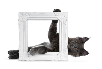 Wall Mural - Adorable funny solid blue Maine Coon cat kitten laying behind and holding up a white photo frame and looking straight at camera, isolated on white background