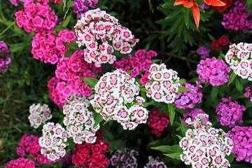Beautiful pink and white flowers in the garden - carnation /Dianthus