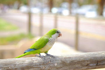 Amazon green parrot in nature on the Canary Island of Fuerteventura, Spain.