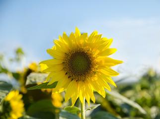 Closeup of sunflower in a field