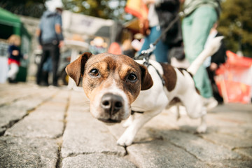 Funny Jack Russell Terrier Dog Walks Down Street On A Leash. Dog