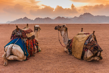 Two camels are in the Sinai Desert, Sharm el Sheikh, Sinai Peninsula, Egypt. Orange beautiful sunset above mountains