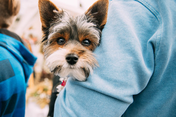 Man Holding In Hands Small Funny Cute Yorkshire Terrier Dog.
