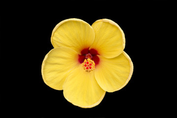 beautiful yellow red flower isolated black background